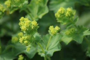 izbliza prikazana ljekovita biljka vrkuta sa zelenim nazubljenim listovima i zeleno-žutim cvjetovima