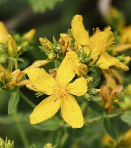 grančica kantariona ili gospine trave, ljekovite biljke sa žutim cvjetovima, slikana izbliza